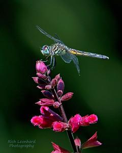 Dragonfly on flower in The New York Botanical Garden.