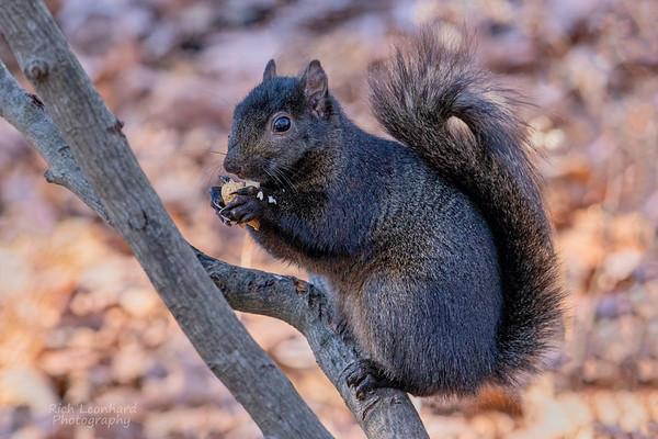 Black Squirrel at The New York Botanical Garden, NY.
