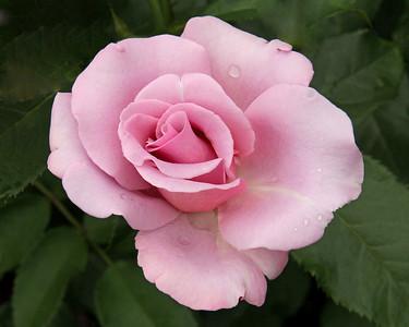 Rose at New York Botanical Garden