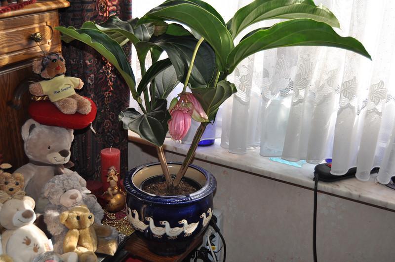 Deze kamerplant heeft immense bloempluimen waarvan elke toeschouwer onder de indruk is. De Medinilla's bloeien vanaf het voorjaar tot een flink eind in de zomer. Spijtig genoeg is het geen eenvoudige tante qua onderhoud en verzorging. Het is een fraaie woonplant van de Melastomataceae (familie) die afkomstig is uit de Filipijnen waar deze makkelijk anderhalve meter hoog wordt. Daar leven ze als epifyten = leven op andere planten zonder er voedsel van te onttrekken (zoals parasieten wel doen). Ze onttrekken het nodige vocht uit de lucht. Het is dan ook een kamerplant die de nodige verzorging, hoge luchtvochtigheid en warmte vraagt. De Medinilla gedijt best op warme plaatsen met een hoge luchtvochtigheid zoals een warme kas, serre, veranda,... maar kan tijdens de bloeiperiode wel voor enkele maanden naar de huiskamer verhuizen.