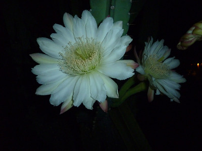 night blooming cereus 2013