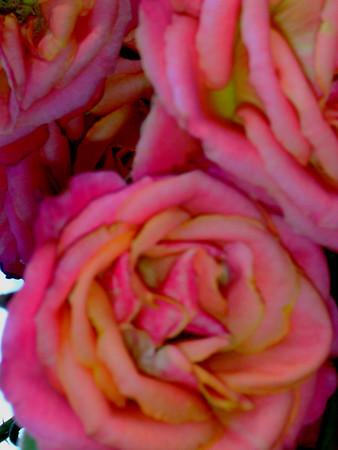 o'Roses