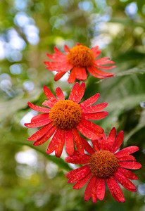 Red Daisy-like Flowers