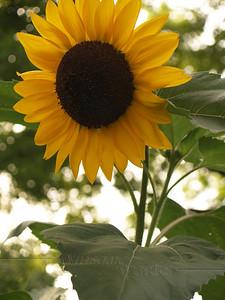 Sunflower, afternoon