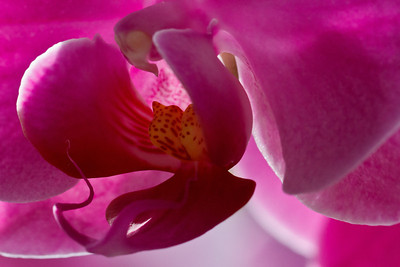 Orchid Macro 014