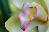 Orchid Macro 011