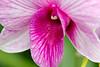 Orchid Macro 005