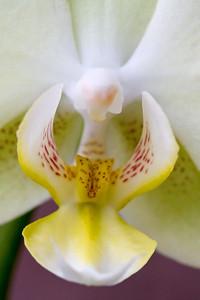 Orchid Macro 003