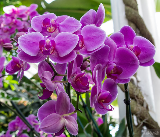 20140308_Orchid Show_35