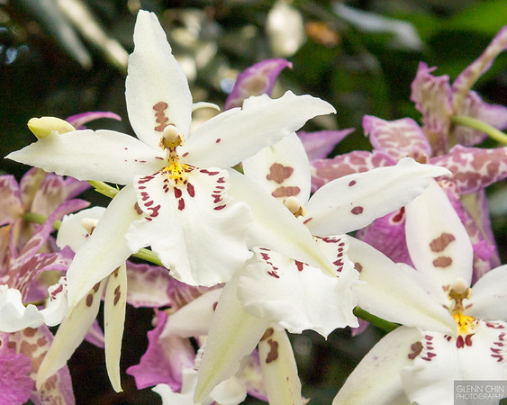 20140308_Orchid Show_43