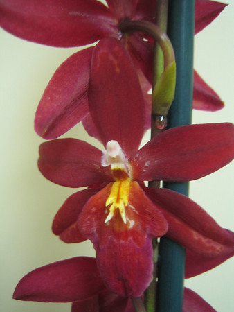 Orchid05