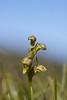 Dvärgyxne - (Dwergorchis) - Chamorchis alpina