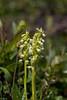 Fjällyxne - (Bergmuggenorchis) - Pseudorchis straminea