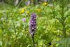 Jungfru Marie nycklar - Gevlekte orchis - Dactylorhiza maculata