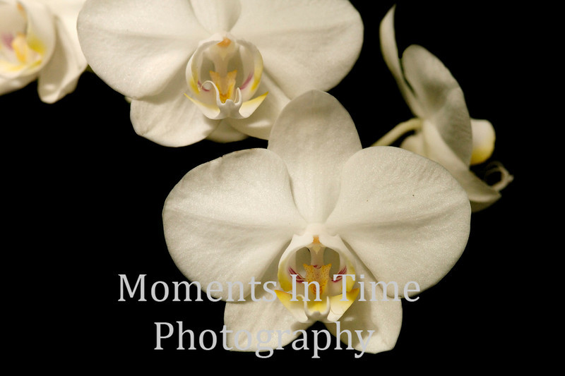 Orchid trio on black