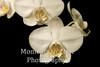 Orchid trio on black