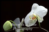 Ornamental orchid