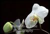 Ornamental orchid