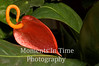 Anthurium (Anthurium andraeanum)