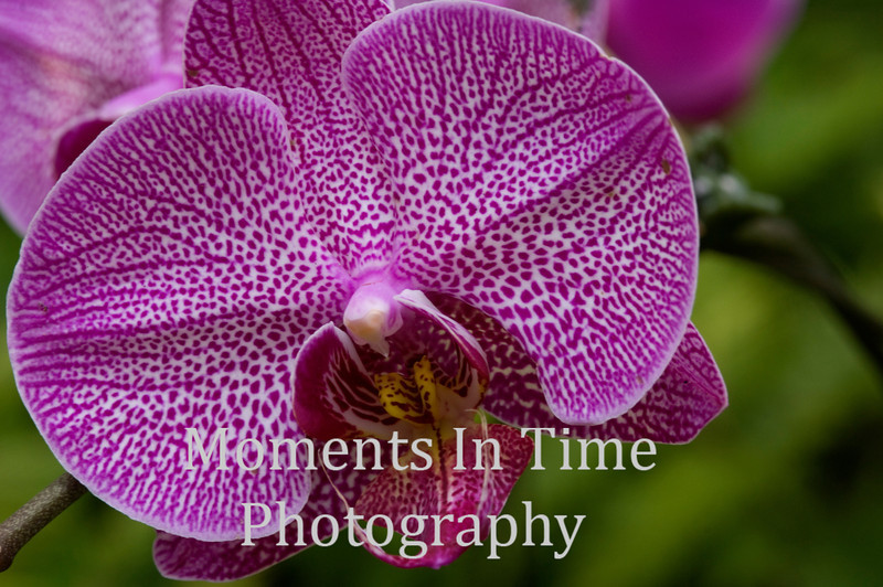 Orchid (Orchidaceae)