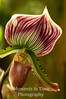 Striped lady slipper