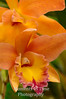 Peach and rose orchids