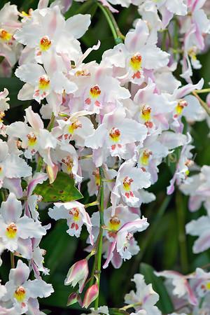 Odontioda Orchid
