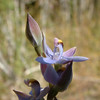 Mauve-tufted Sun Orchid [Thelymitra mulvina]