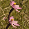 Pink Sun Orchid [Thelymitra carnea]