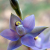 Forest Sun-orchid [ thelymitra arenaria]