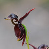 Flying Duck Orchid, Large Duck Orchid [Caleana major]