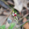 Mantis Orchid, Large Green-Comb Spider Orchid [Caladenia tentaculata]
