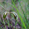 Large Autumn Greenhood Orchid [Pterostylis sp aff revoluta]