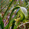 Nodding Greenhood Orchid [Pterostylis nutans]