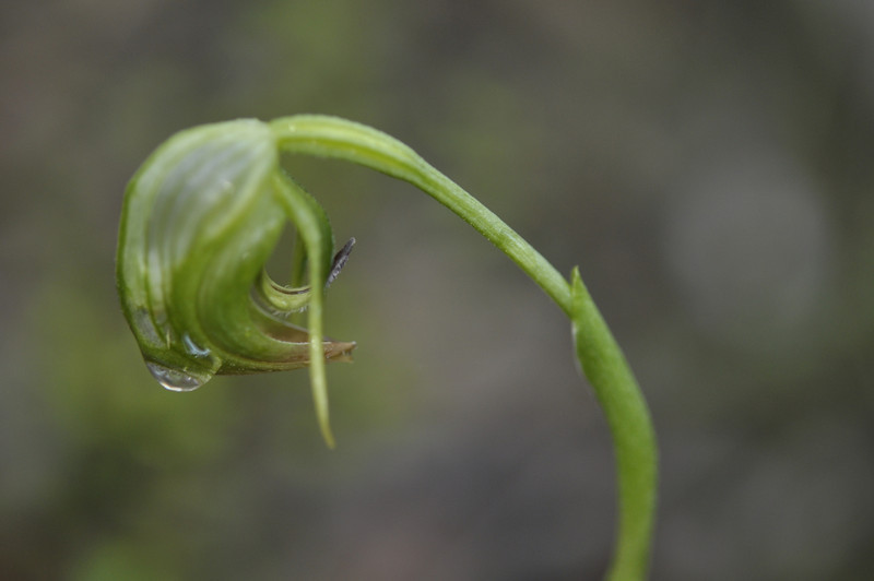 Pterostylis nutans [nodding greenhood orchid]