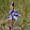 Great Sun Orchid, Giant Sun Orchid [Thelymitra aristrata]