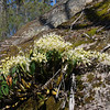 King orchid, Large Rock Orchid  [Dendrobium speciosum]
