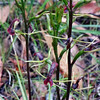 Small Tongue Orchid [cryptostylis leptochila]