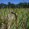 Dainty Wasp Orchid [chilogottis trapezformis]