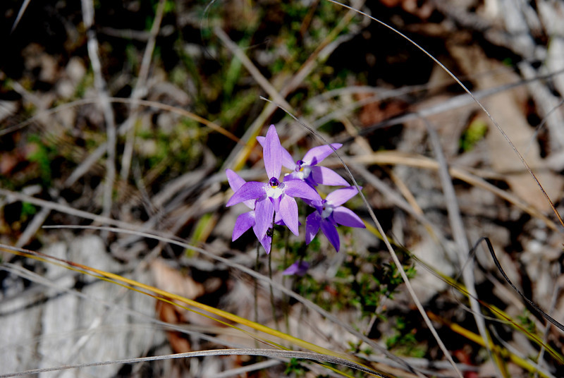 Waxlip Orchid  [ glossodia major]
