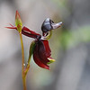 Flying Duck Orchid,  Large Duck Orchid [Caleana major] ]