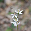 Musky Caladenia Orchid, Scented Fingers Orchid [Caladenia moschata]