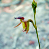 Small Duck Orchid [ Paracaleana minor]