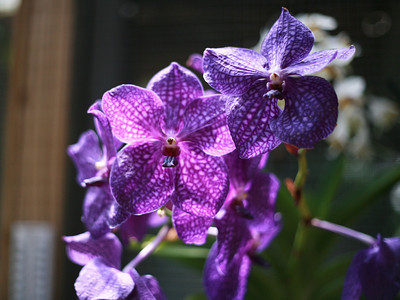 Vanda (VAN-duh) or Ascocentrum (as-koh-SEN-trim)  Vandas are large plants that need full sun. Ascocentrums are smaller, and need a little less sun. These come in blues, purples, whites, reds, oranges, and yellows.      These need sun, warmth, and high humidity.     Provide lots of water and fertilizer. In the summer, Vandas need to be watered daily.     Give them less water and fertilizer during winter dormancy.     Both kinds dislike repotting, and are often grown bare-root, without potting material. They can also be grown in small hanging baskets with their roots hanging out in the air.