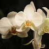 white Orchid _0012