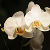 white Orchid _0007