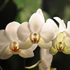 white Orchid _0004