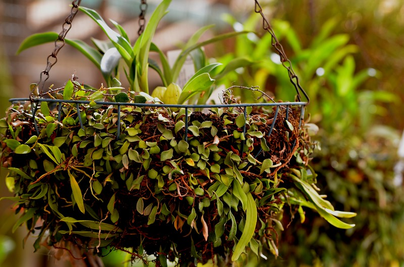 Ceologyne unchained melody  in basket of fern with falcatus