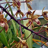 Cymbidium canaliculatum, 2nd year flowering