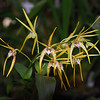Dendrobium Star of gold